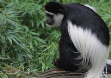 Scimmia Immagini Stock