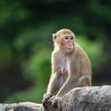 Scimmia Immagine Stock