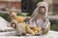 Scimmia Fotografie Stock Libere da Diritti