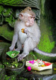 Scimmia 033 Immagini Stock Libere da Diritti