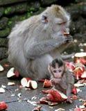 Scimmia 031 Fotografia Stock