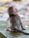 Scimmia 023 Fotografia Stock Libera da Diritti