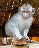 Scimmia 019 Immagine Stock Libera da Diritti