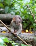 Scimmia 018 Immagine Stock