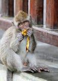 Scimmia 013 Fotografia Stock