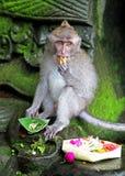 Scimmia 004 Fotografia Stock