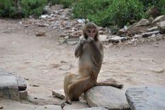 Scimmia immagini stock libere da diritti