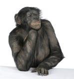 Scimmia ad una tabella Immagini Stock