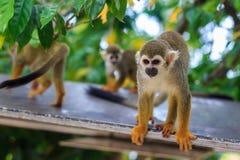 Scimmia adulta del Saimiri. Fotografie Stock