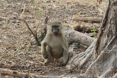 Scimmia africana Fotografia Stock Libera da Diritti
