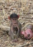 Scimmia africana Fotografie Stock Libere da Diritti