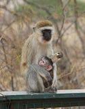 Scimmia africana Immagini Stock Libere da Diritti