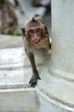 Scimmia aggressiva Immagine Stock