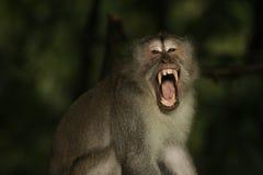 Scimmia in ahimè tempio di Kedaton Fotografia Stock