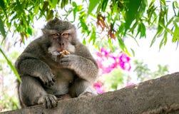 Scimmia al tempio di Uluwatu Fotografia Stock
