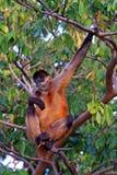 Scimmia in albero Fotografia Stock