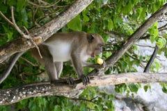 Scimmia in albero Fotografia Stock Libera da Diritti