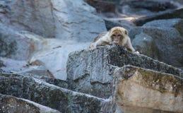 Scimmia alesata fotografia stock
