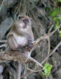 Scimmia alla spiaggia Tailandia della scimmia Fotografia Stock Libera da Diritti