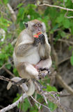Scimmia alla spiaggia Tailandia della scimmia Fotografie Stock