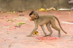 Scimmia animale che si siede sul pavimento di calcestruzzo Fotografia Stock Libera da Diritti