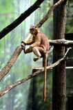 Scimmia arancio Immagini Stock