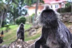 Scimmia asiatica fotografia stock