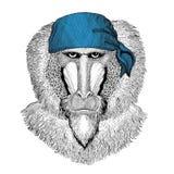 Scimmia, babbuino, cane-scimmia, bandana dell'animale selvatico della scimmia o bandana o immagine d'uso del bandanna per il pira Fotografia Stock