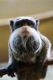 Scimmia barbuta divertente Immagini Stock