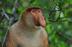 Scimmia Bekantan Fotografia Stock