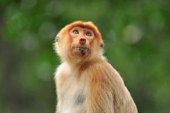 Scimmia Bekantan Fotografie Stock