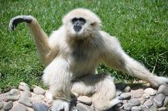 Scimmia bianca Fotografia Stock Libera da Diritti