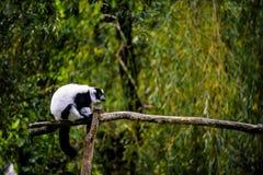 Scimmia bianca Fotografie Stock