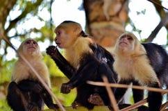 Scimmia bianca del fronte Fotografie Stock Libere da Diritti