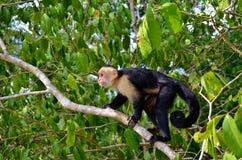 Scimmia bianca del fronte Fotografie Stock