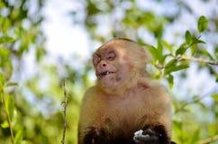 Scimmia bianca del fronte Fotografia Stock Libera da Diritti