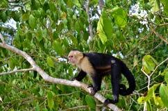 Scimmia bianca del fronte fotografia stock