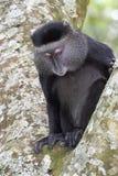 Scimmia blu. Immagini Stock