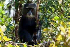Scimmia blu fotografia stock libera da diritti