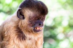 Scimmia brasiliana Fotografia Stock
