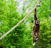Scimmia che appende fuori Fotografia Stock Libera da Diritti
