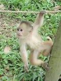Scimmia che appende intorno Fotografia Stock