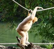 Scimmia che attraversa sulle corde fotografie stock libere da diritti