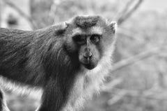 Scimmia che beging per il mio alimento Immagini Stock