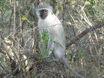 Scimmia che esamina macchina fotografica Immagini Stock