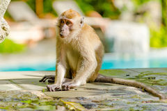 Scimmia che esamina macchina fotografica Immagine Stock Libera da Diritti