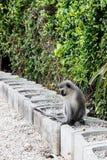 Scimmia che fissa alla sua coda lunga Fotografie Stock Libere da Diritti