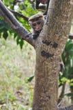 Scimmia che fissa dall'albero Immagine Stock