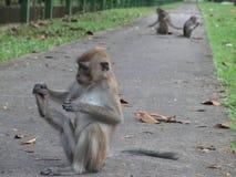 Scimmia che gioca uno sciocco Fotografie Stock