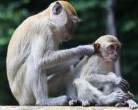 Scimmia che governa il suo bambino in Tailandia Fotografia Stock